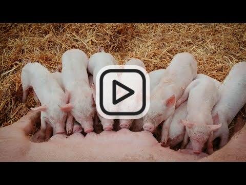 Partizipationsprojekt und Wissenstransfer zur verlängerten Säugezeit auf Bioschweine-Betrieben
